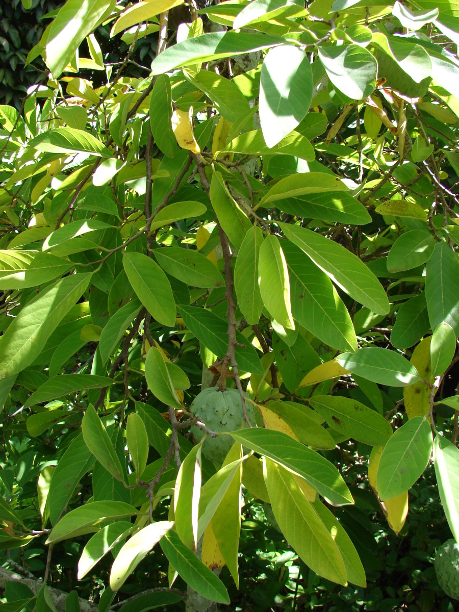 well defined leaves hiding fruit and flowers of a similar coloring make it difficult to spot the cherimoya fruit and flowers.
