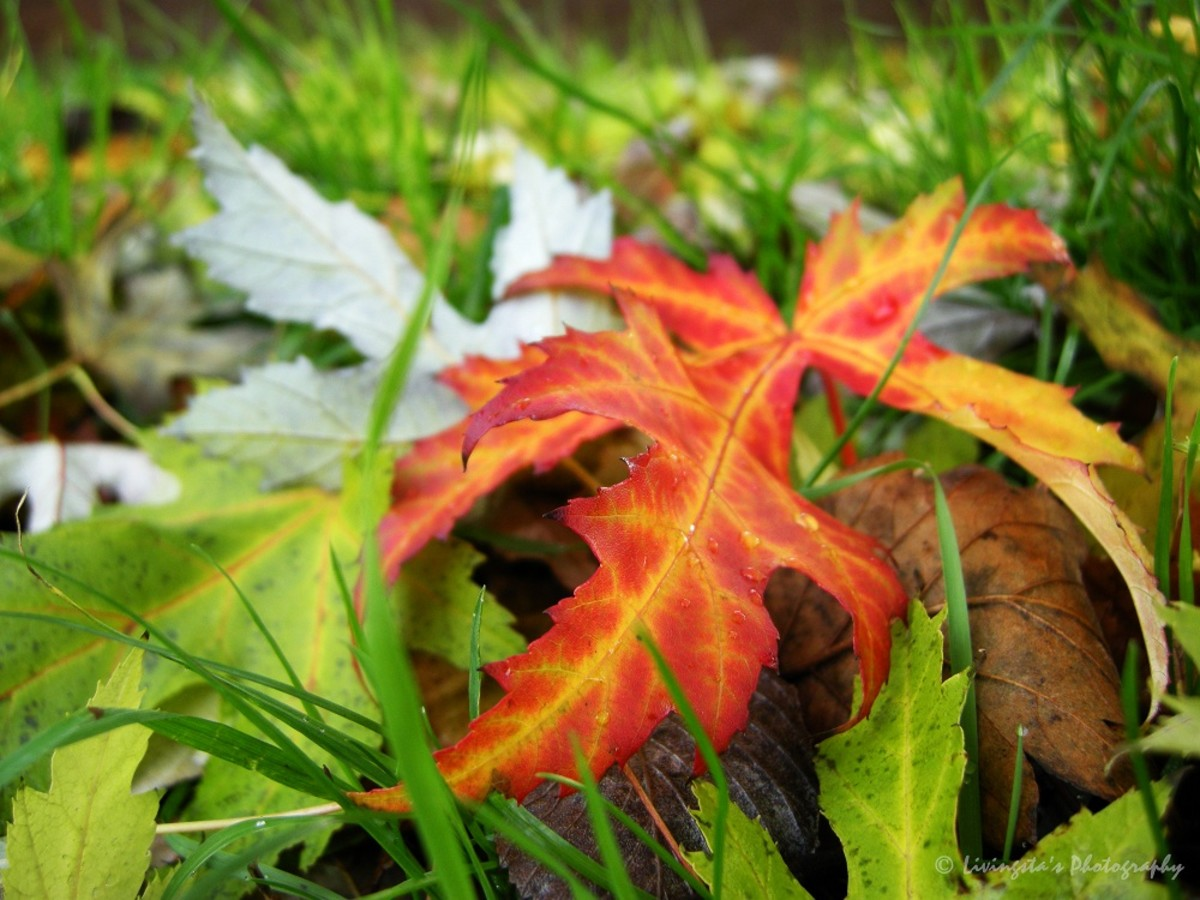 Do not pick up fallen leaves, as they can be infected and could have started to dry!