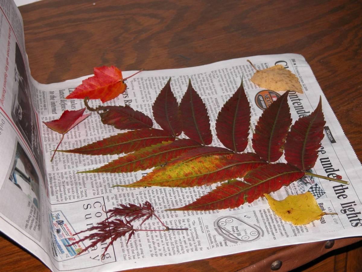 Pressing Autumn leaves in between newspapers