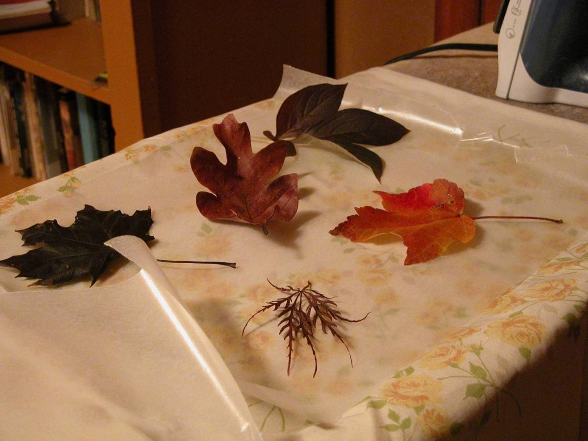 Ironing Autumn leaves by sandwiching between wax papers