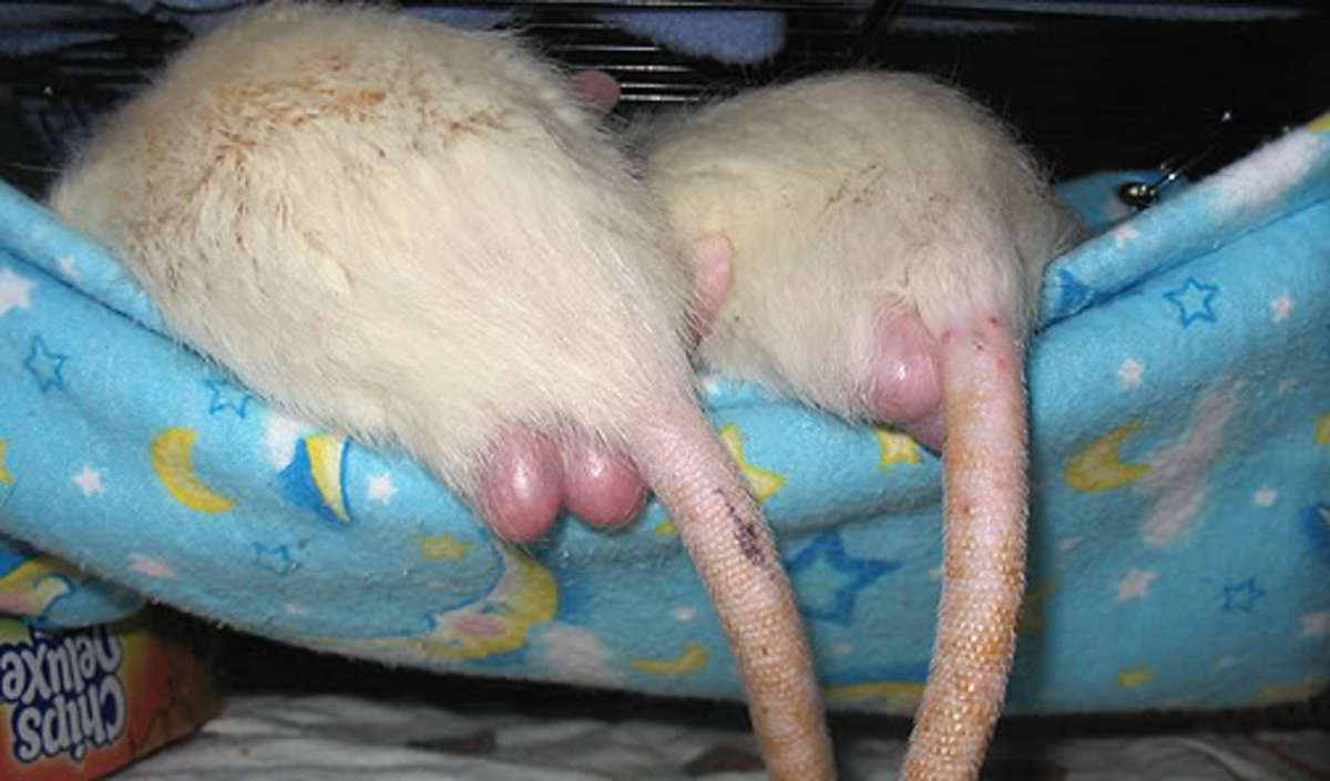 Rat torpedoes... it's like they can moon you twice!