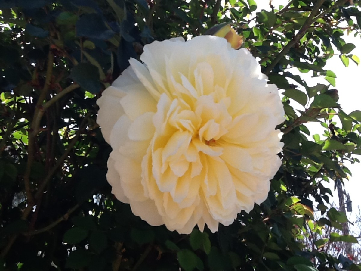 The Pilgrim Climber, a David Austin Rose