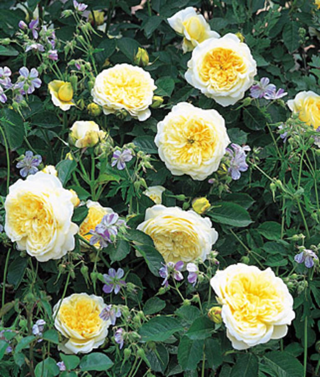 Rose, The Pilgrim