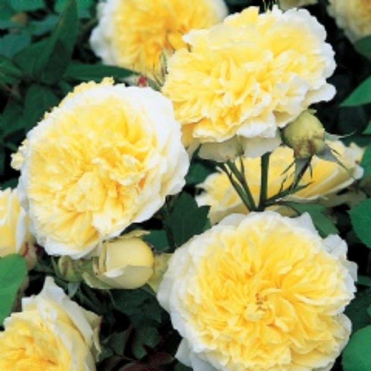 the-pilgram-climber-a-david-austin-rose