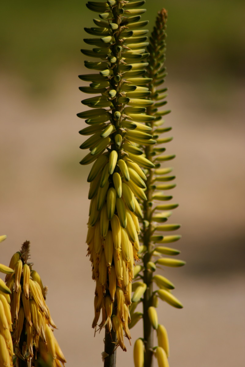 Though not native to our Arizona desert, the distinctive blooms of the aloe vera are ubiquitous in suburban areas.