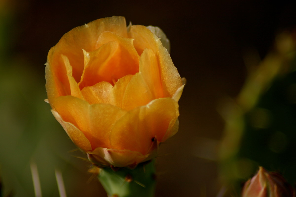 A peach-colored prickly pear bloom