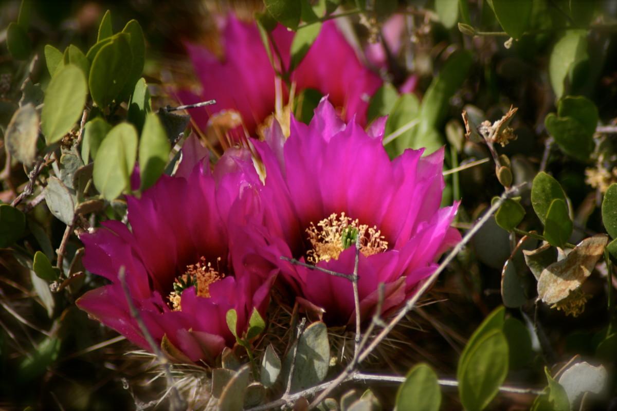 Hedgehogs in full fuchsia bloom, wreathed in jojoba leaves.