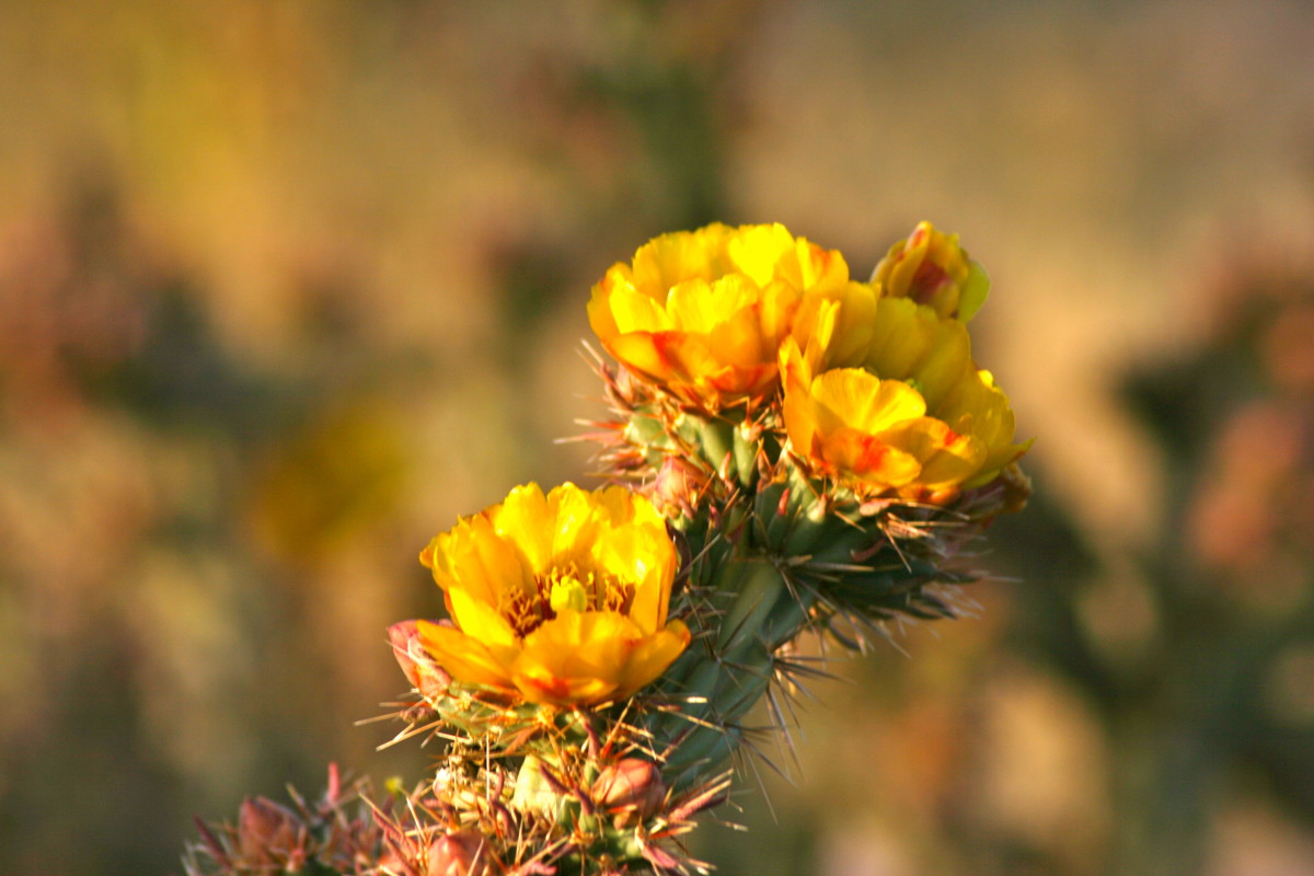 Buckthorn cholla in early bloom.