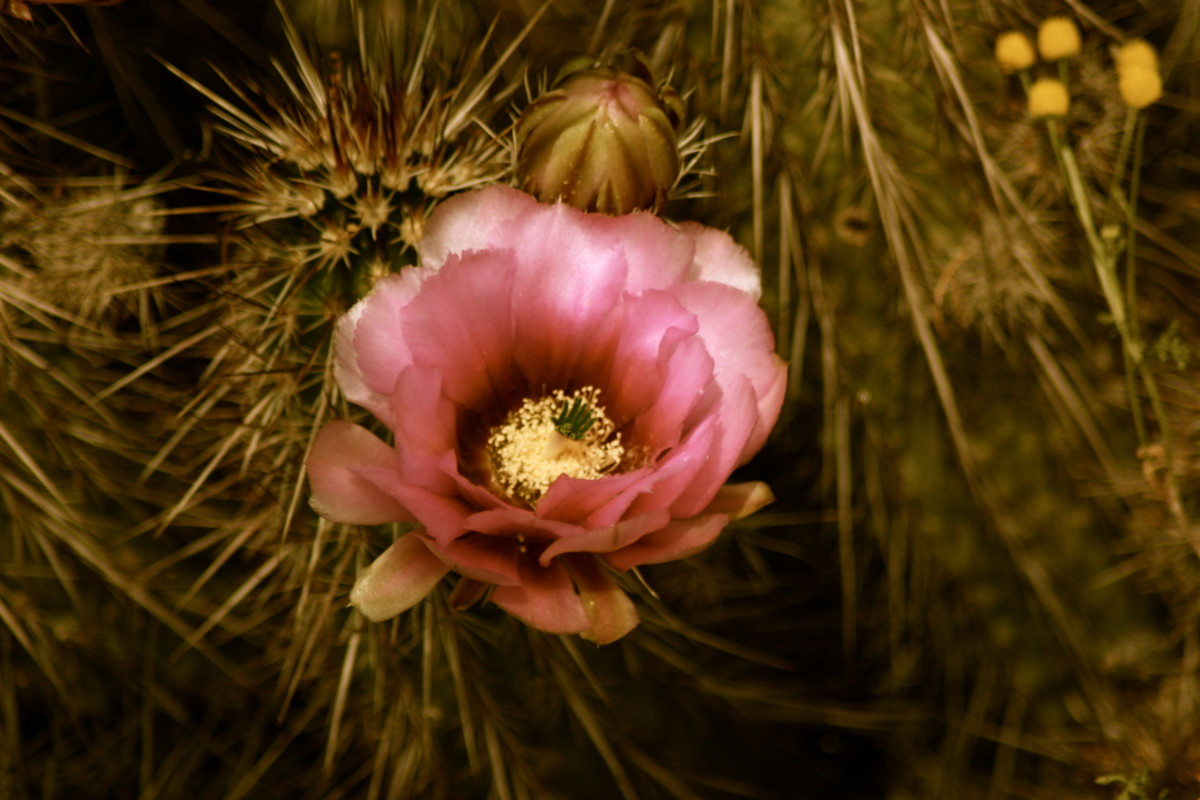 Cactus Flowers:  The Lush Beauty of Spiny Plants