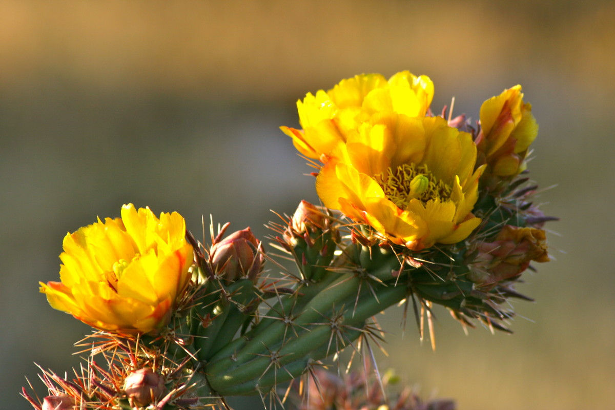 Buckthorn cholla ... even the name is ruggedly lovely.