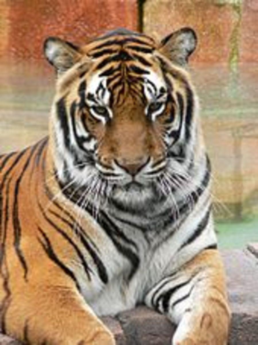 Life of Pi - Richard Parker, a Bengal tiger.
