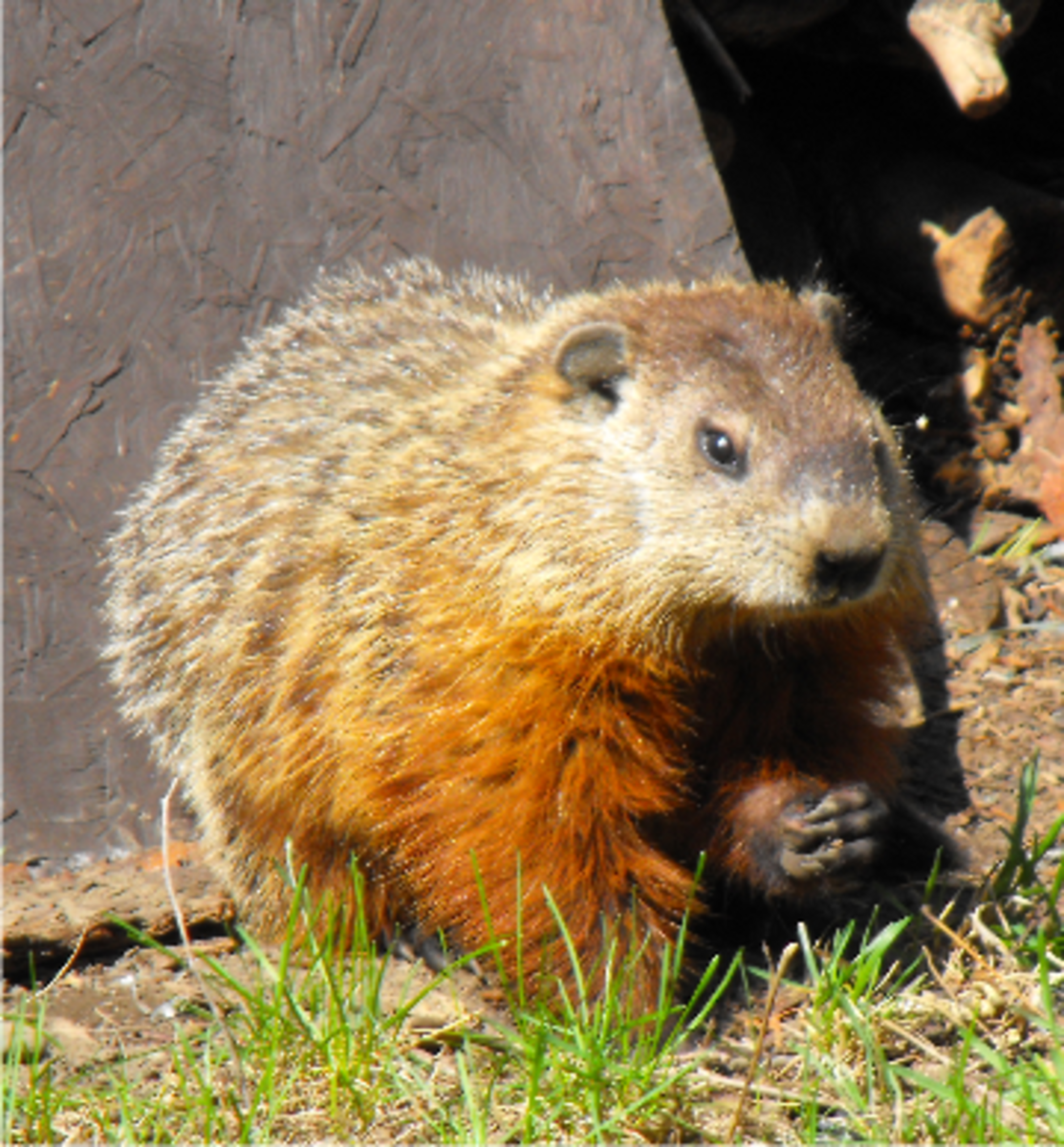 Groundhog Facts: How I Live with a Groundhog in the Garden