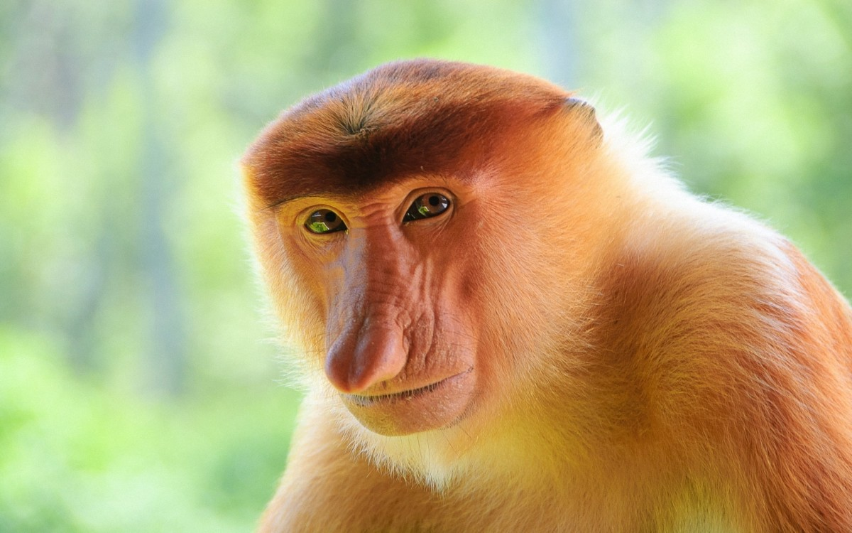 The Proboscis monkey definitely lends so much strength to the theory of evolution where man has evolved from monkeys. Have we really 'evolved' is the question it seems to pose...