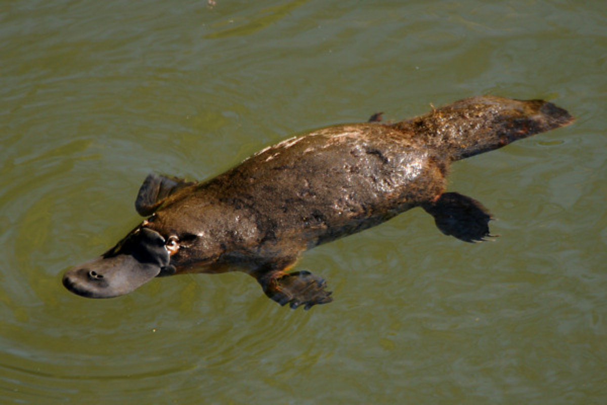 "The duck-billed platypus is the only mammal that lays eggs! When Dr George Shaw, the first European to examine it, saw it, he pronounced that it was a cleverly made fake! ""Platypus"" means flat-foot. :)"