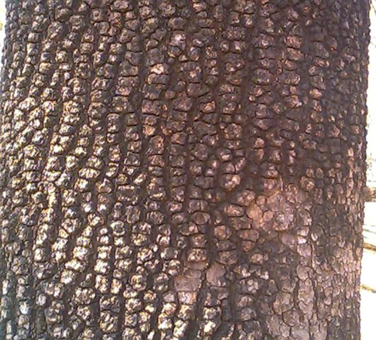 the fissured bark of charoli tree