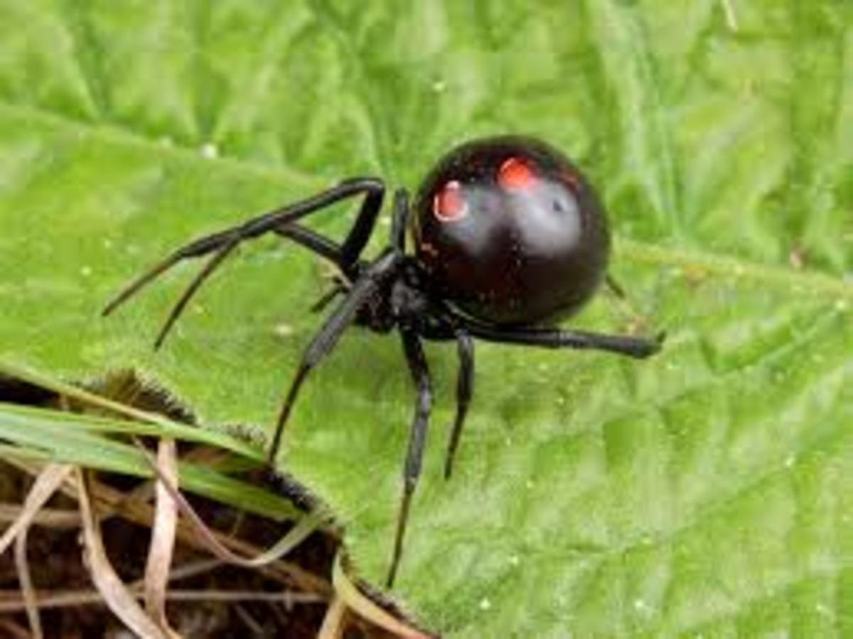 The black widow is a common symbol of spider dreams. As you'll learn, not all spider dreams are bad in meaning. In fact, spider dreams can be positive.