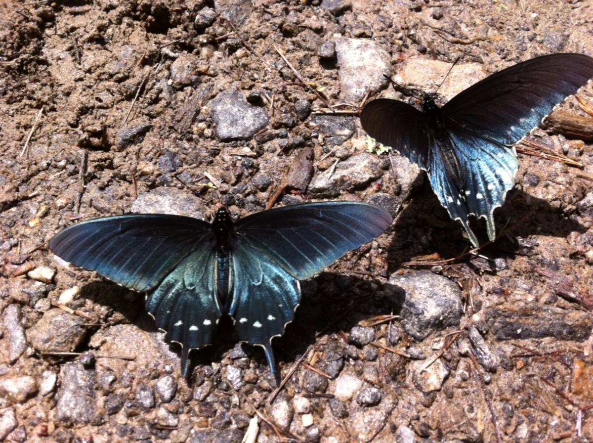 These butterflies had just emerged from their coccons at Big Ivy Trailhead.