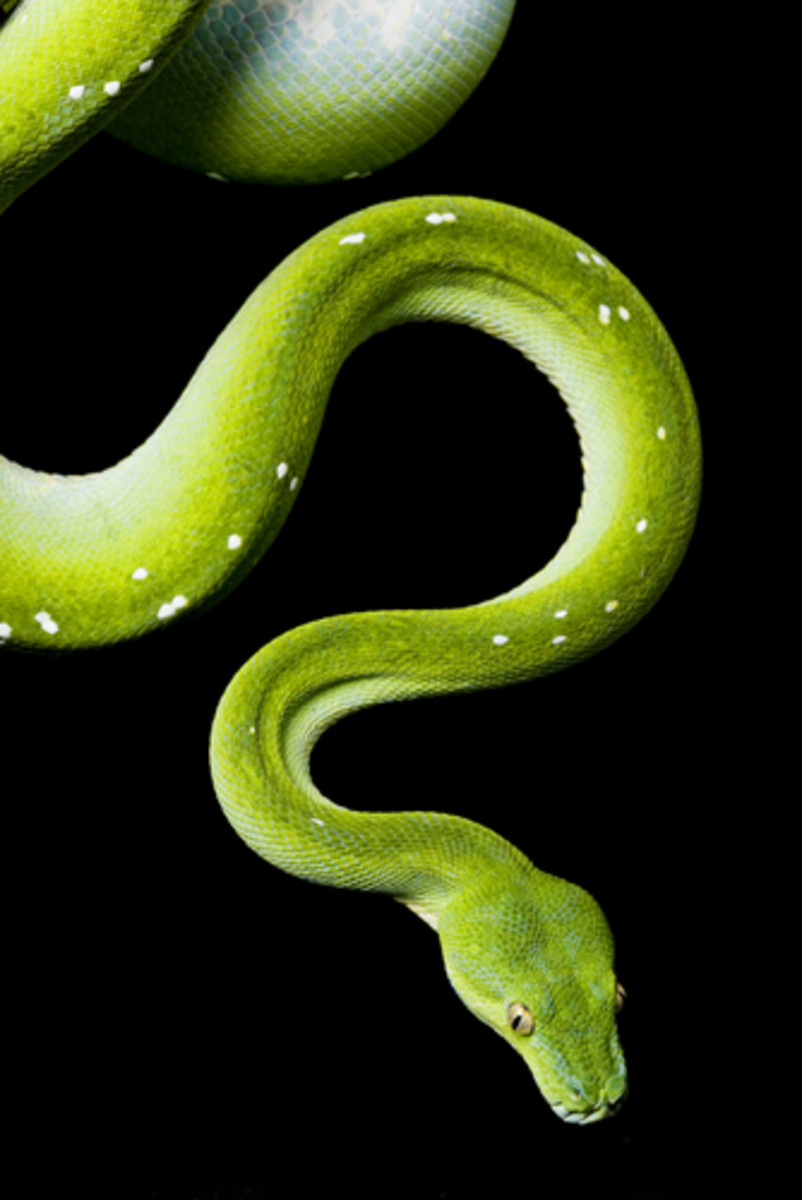 dream-interpretation-snakes
