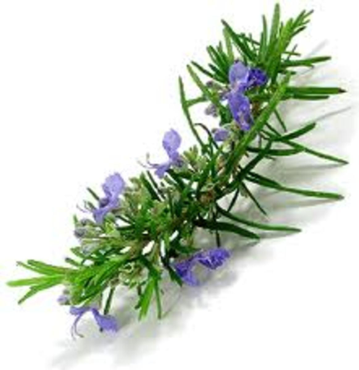 Rosemary has many benefits for hair