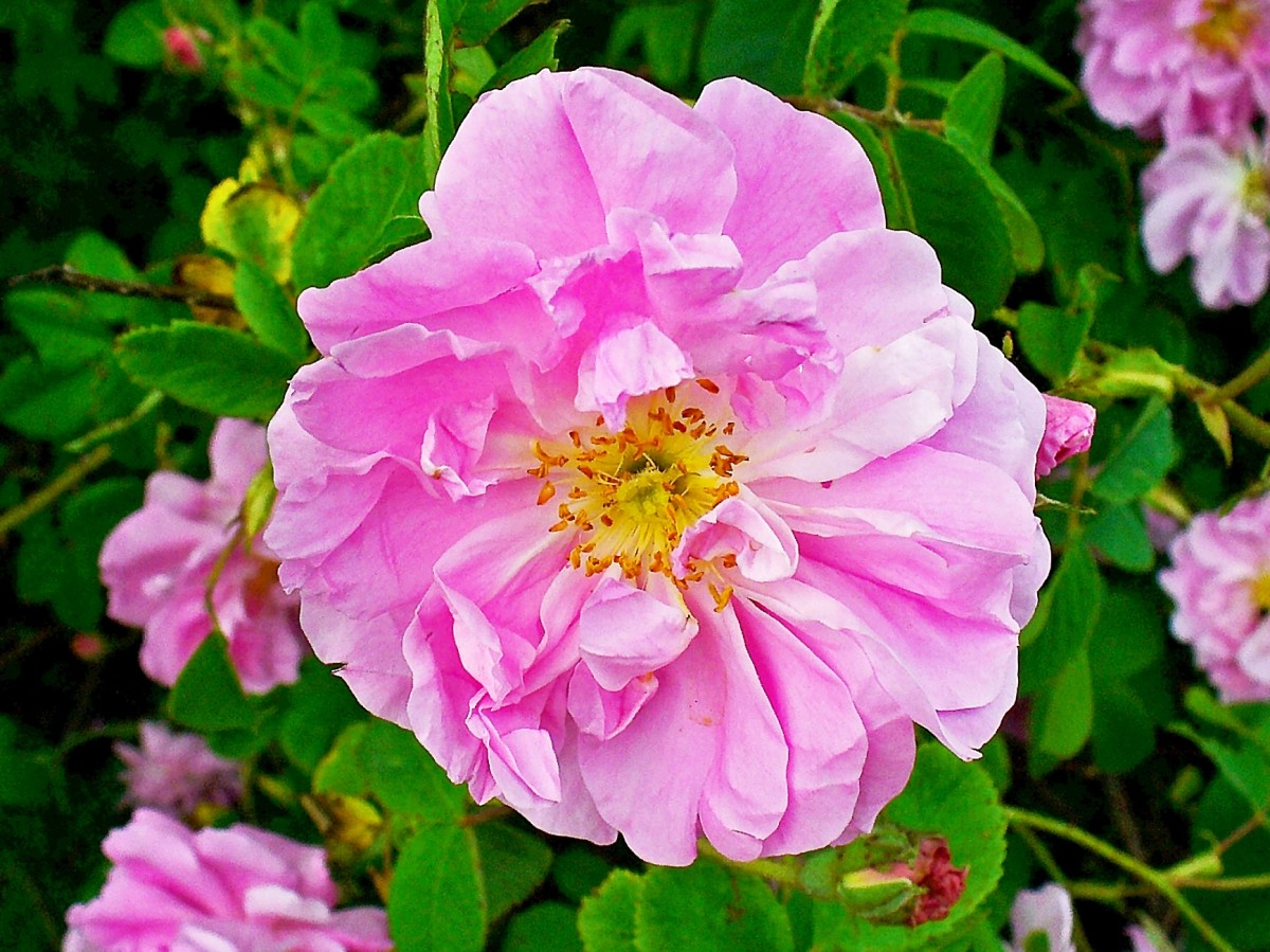 Rose Oil and Water: Production, Uses, and Interesting Facts