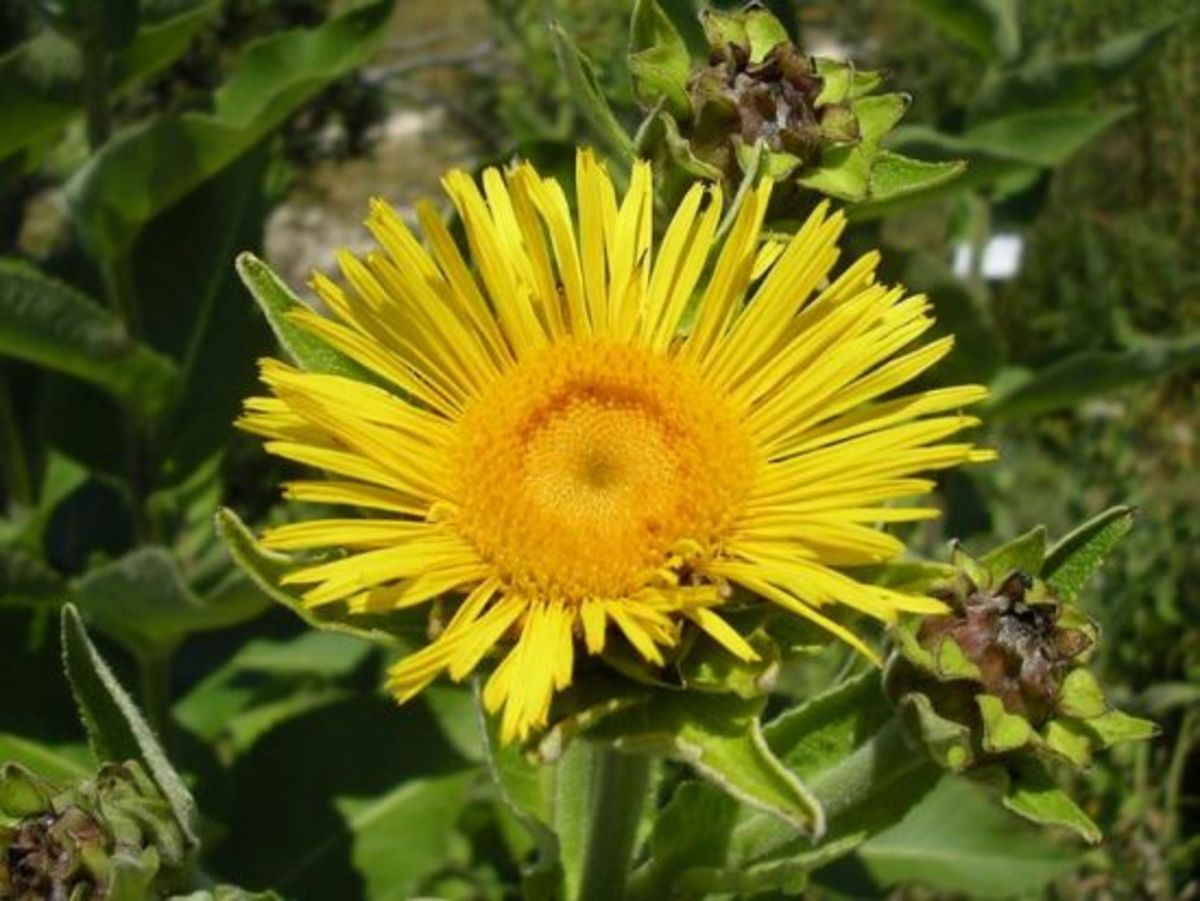 Elecampane flower.