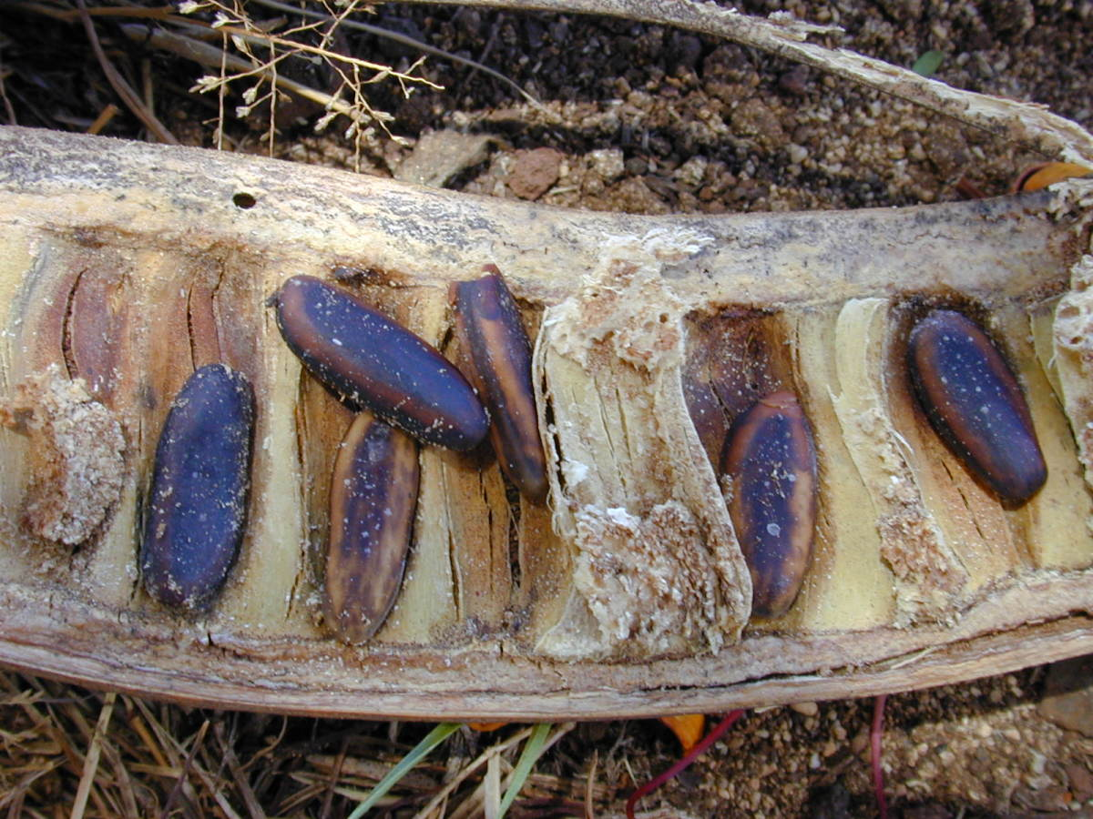 Gulmohar seeds