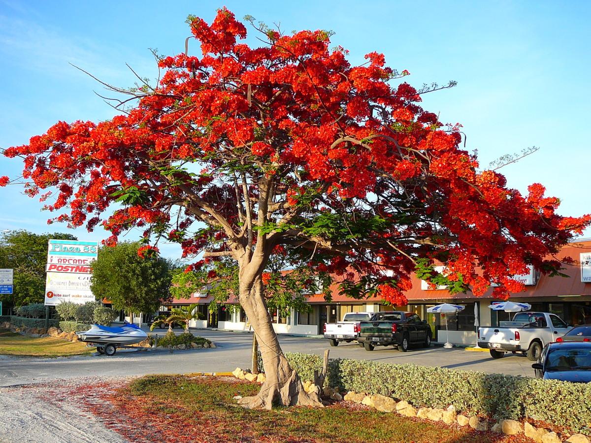 Flame of the forest delonix regia the gulmohar tree for Arboles de jardin que den sombra
