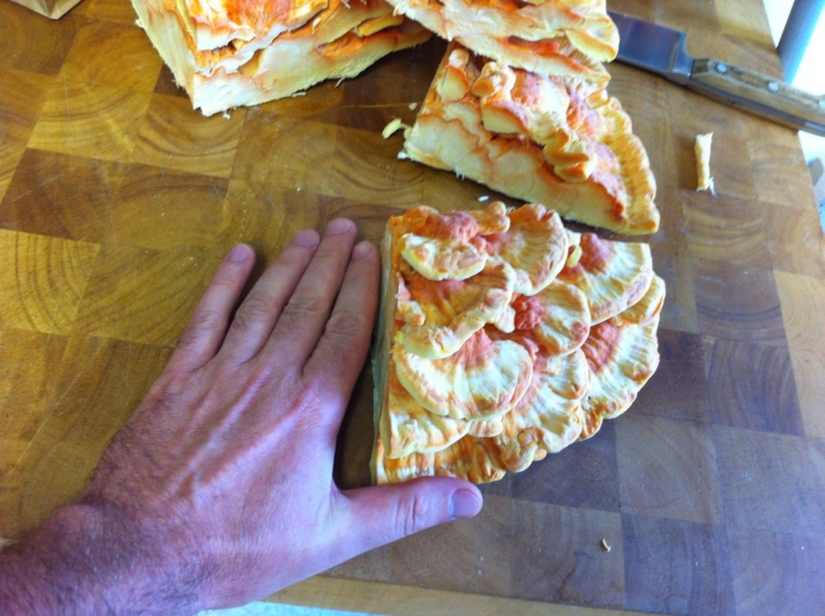 This is my hand next to one quarter of the chicken of the wood mushroom.