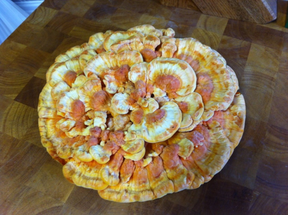 Chicken Of The Wood Mushroom Recipes