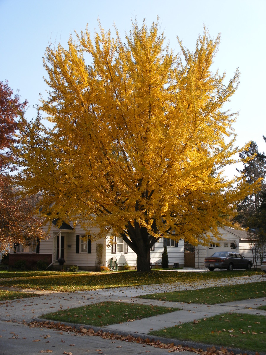 A 150 year old female Ginkgo biloba tree in autumn with golden yellow leaves.