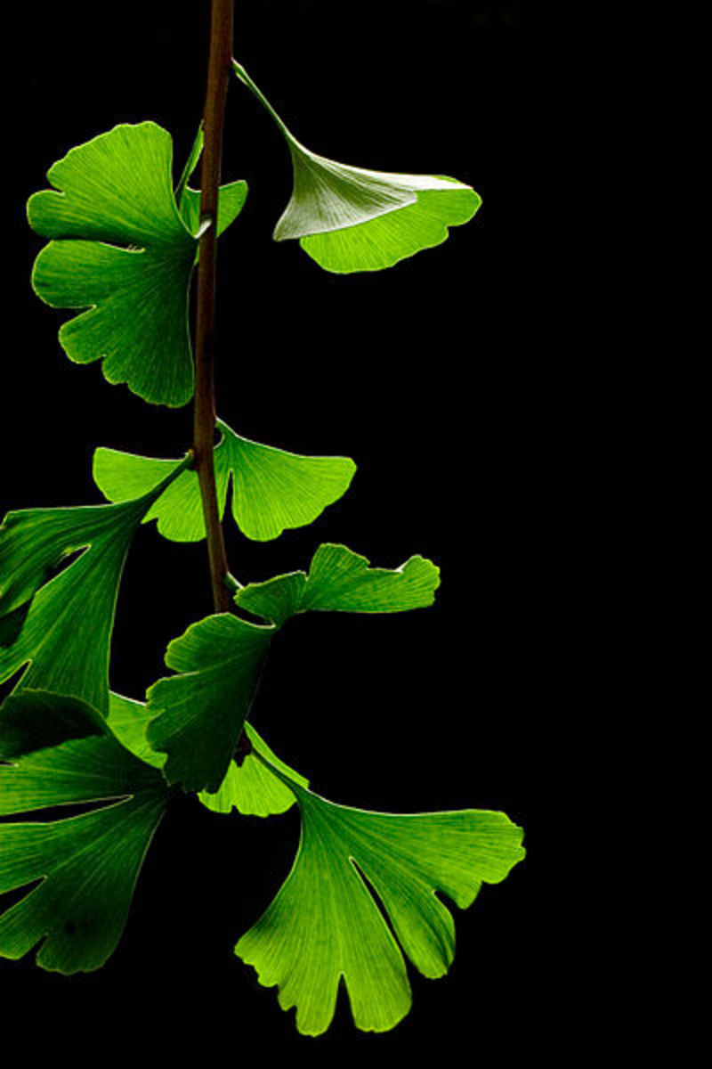 Ginkgo biloba leaves in summer