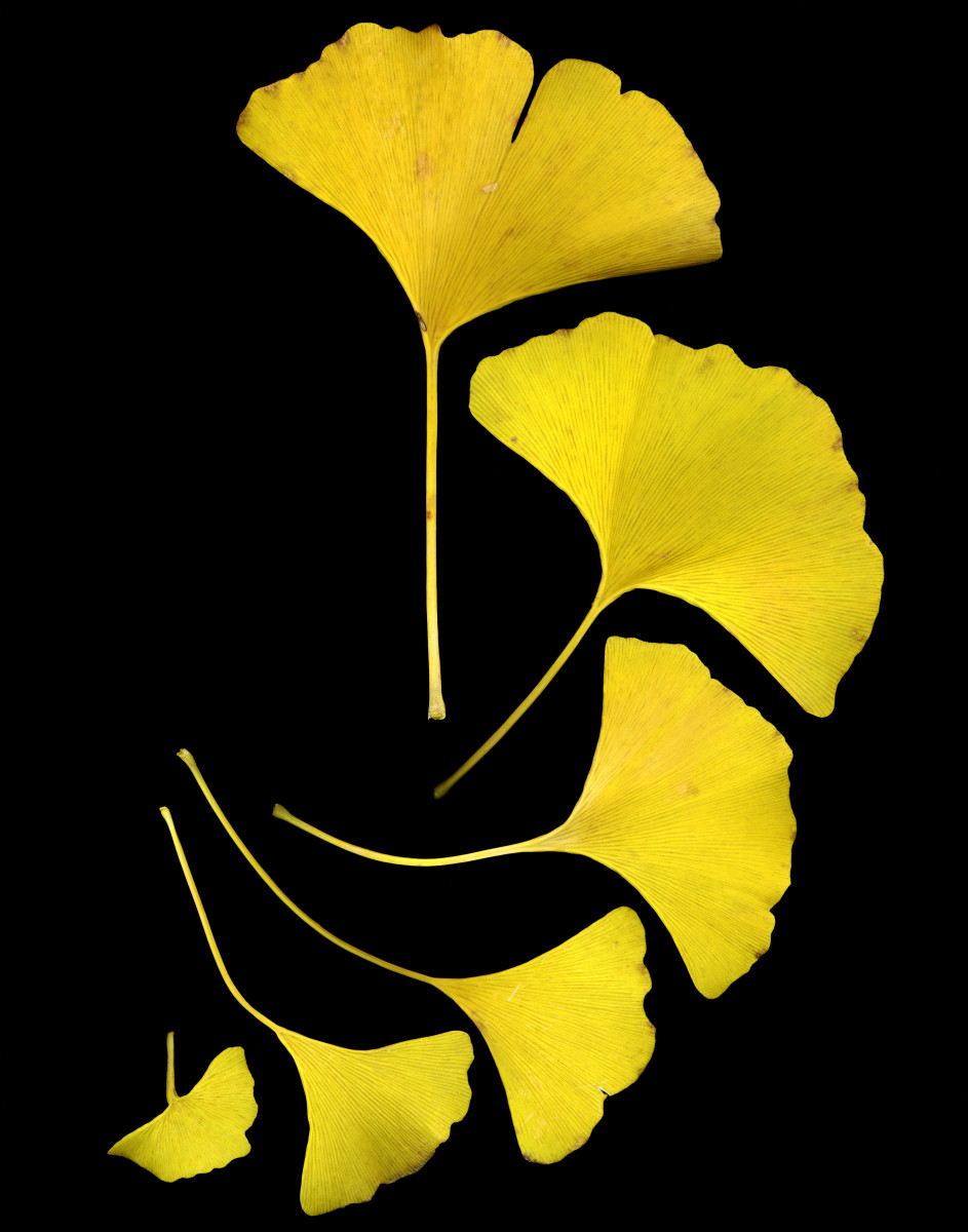 Ginkgo leaves in Autumn