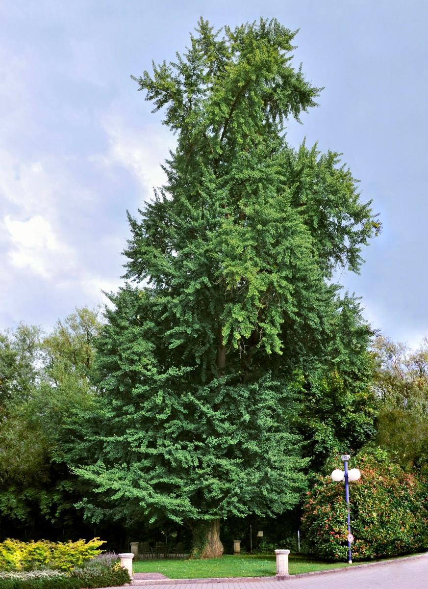 Ginkgo Biloba or Maidenhair Tree - Uses And Health Benefits