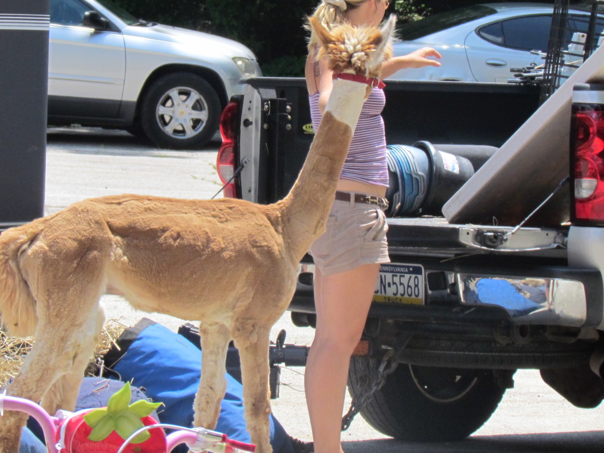 The alpaca, arrived first for the petting zoo along with numerous other animals.