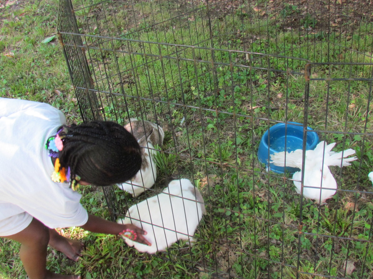 One of the chickens are being touched by a child.