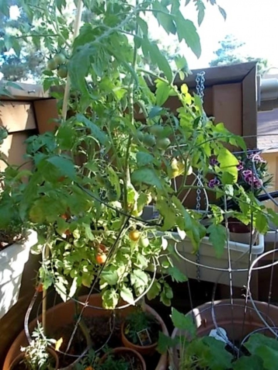 My Tomato Monster Plant 2013