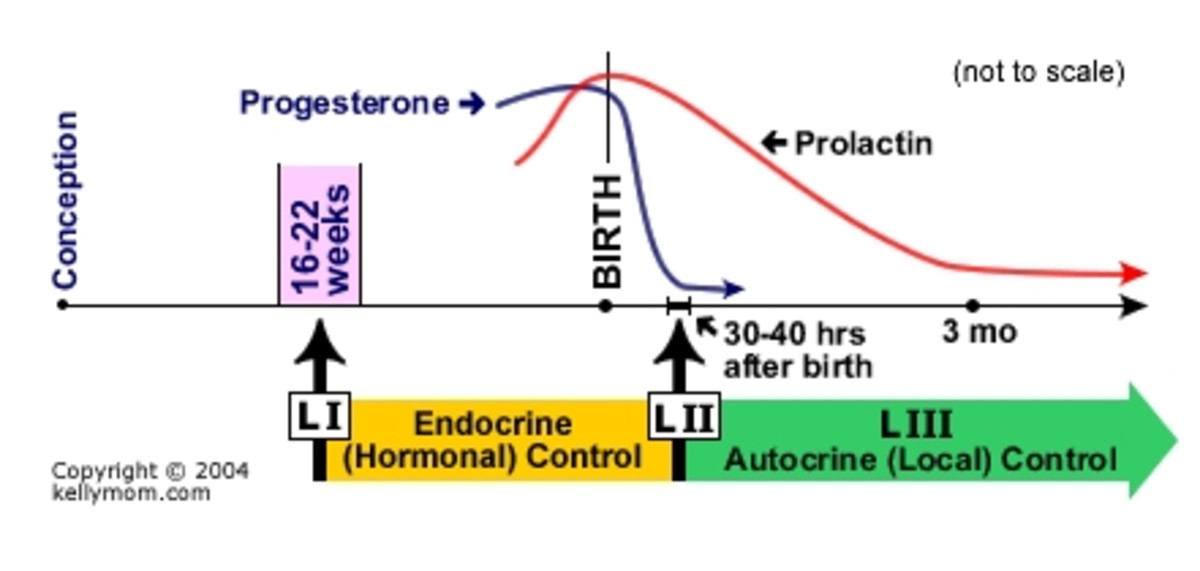 An image showing various stages of lactogenesis