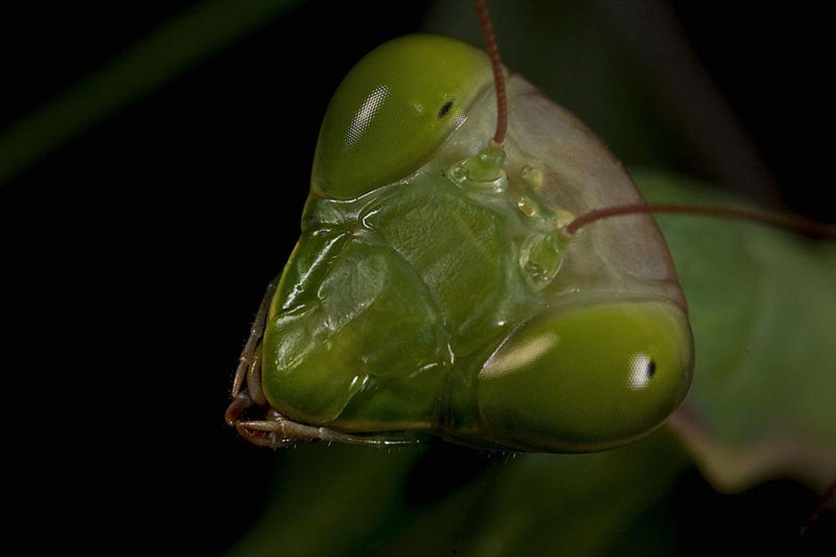 photographing-the-praying-mantis