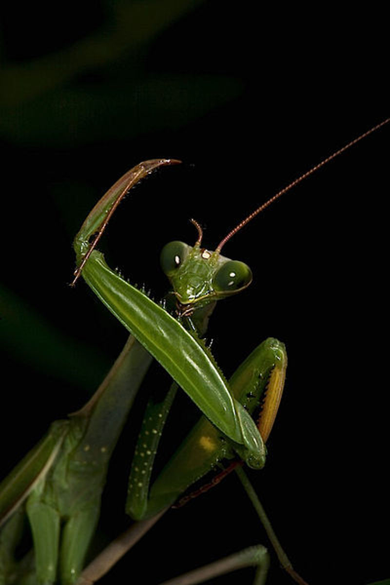 Photo Series-the Praying Mantis
