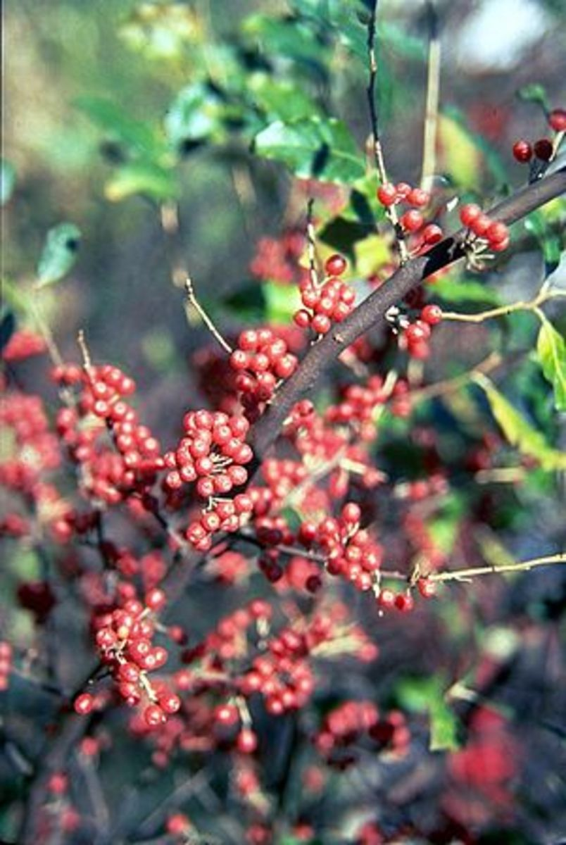 Wild Autumn Olive Berries for Jams and