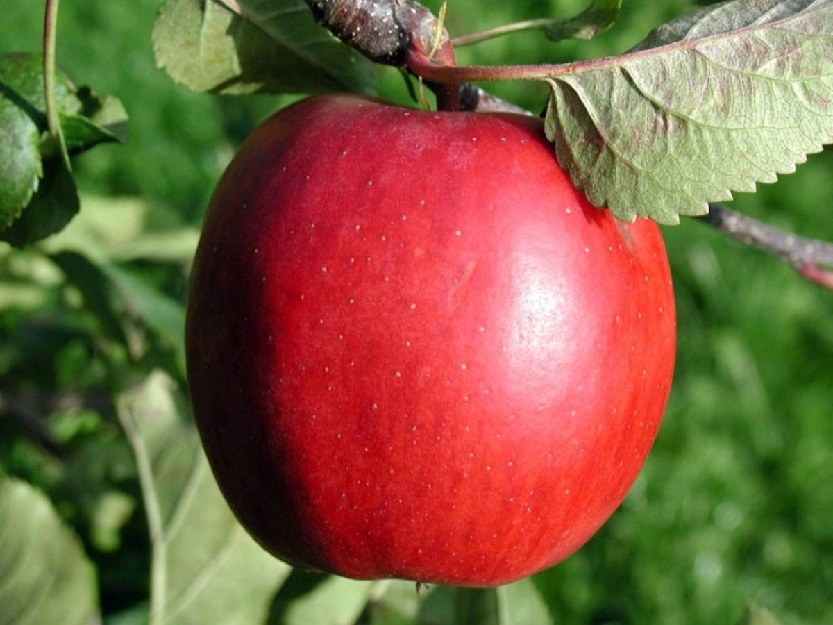 When eaten before a meal, apples can decrease your caloric intake by 15 percent.