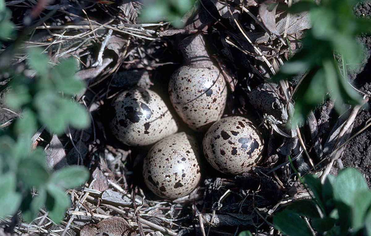 These sandpiper eggs are camouflaged to help protect them from predators.