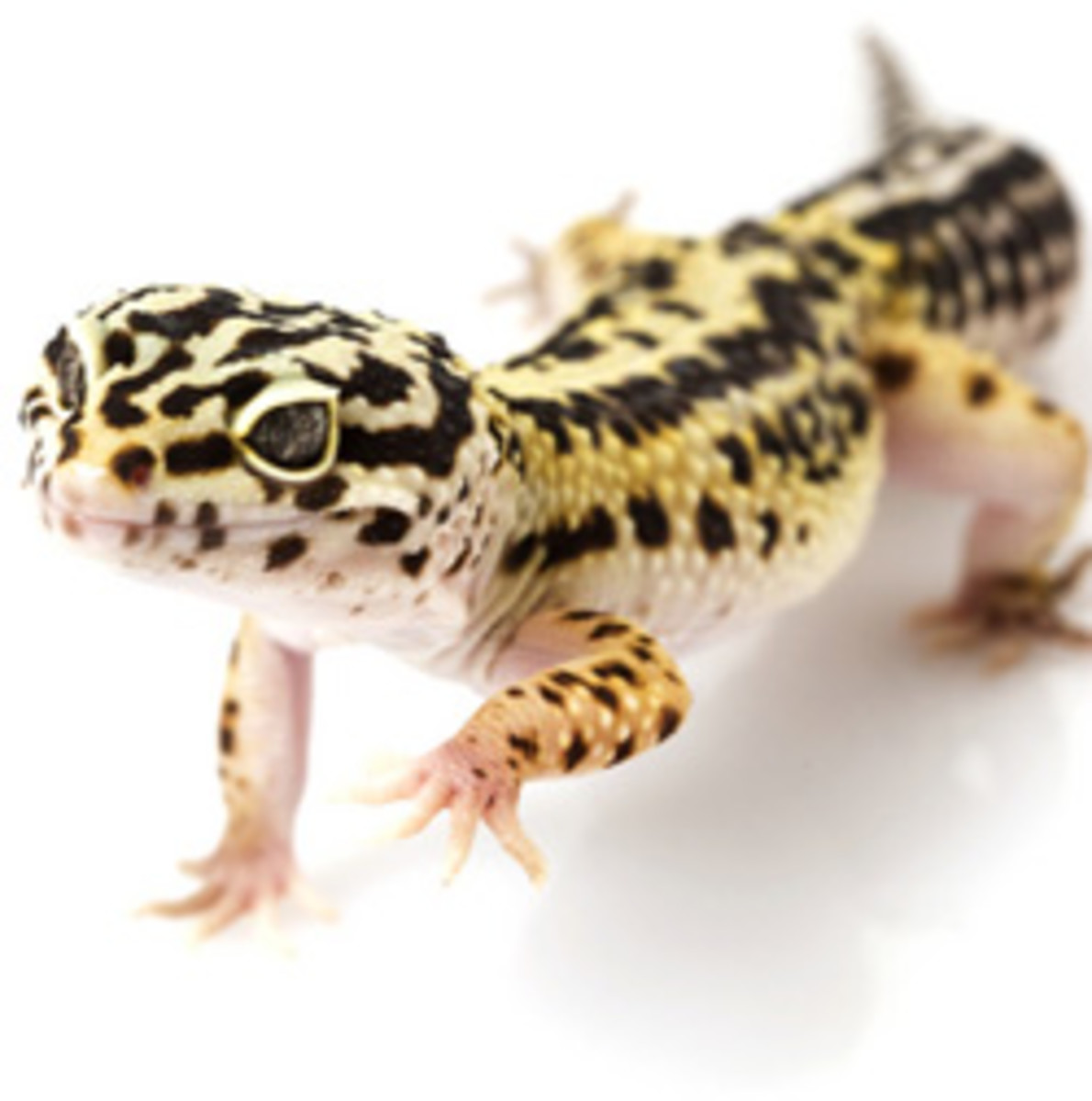 leopard-gecko-care-sheet-helpful-information