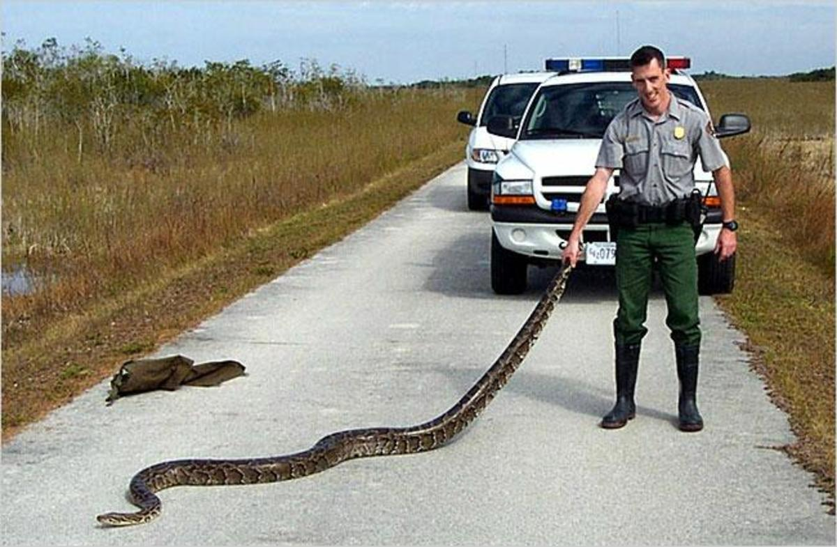 Burmese python captured in Everglades National Park, Florida