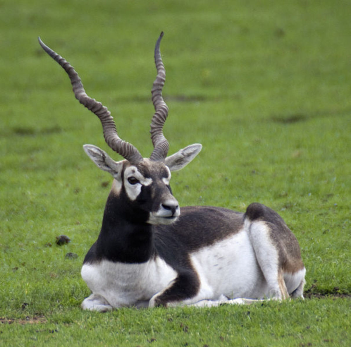 The blackbuck is one animal that has been imported so some parts of the country, mostly as a game animal.