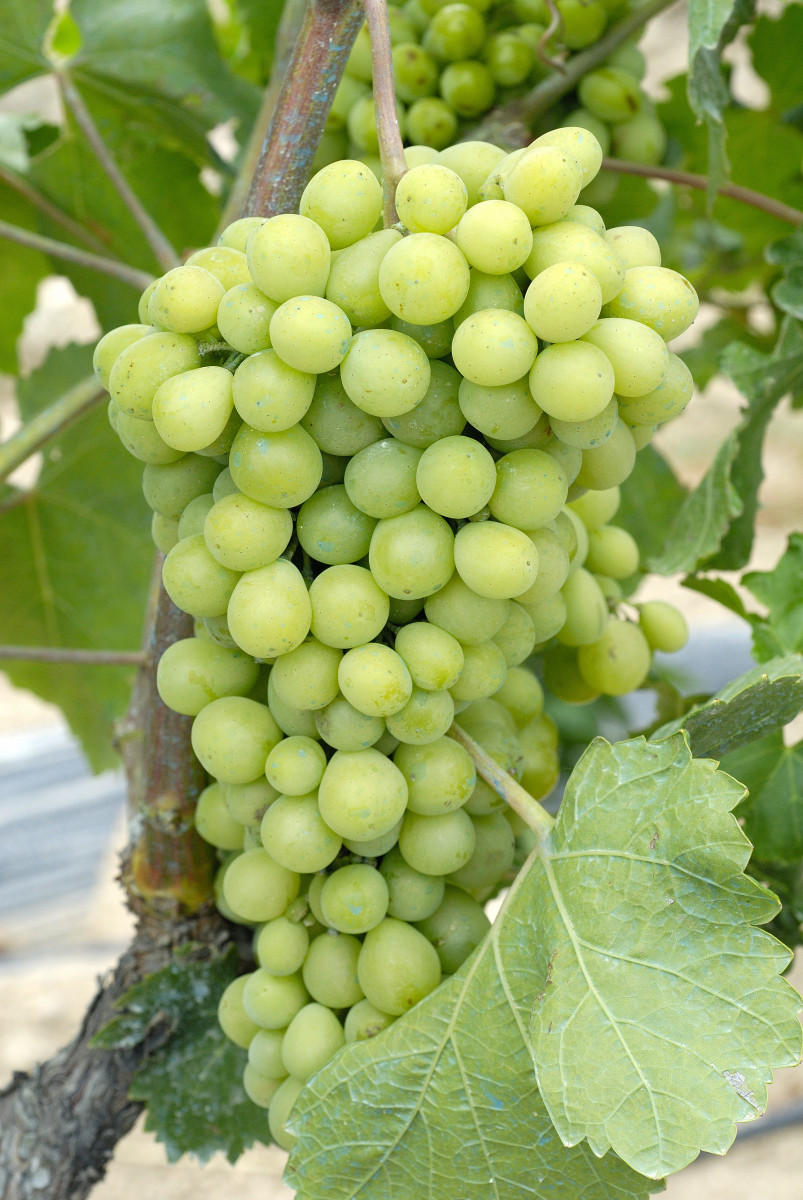 Green Grapes are actually a type of white grapes.