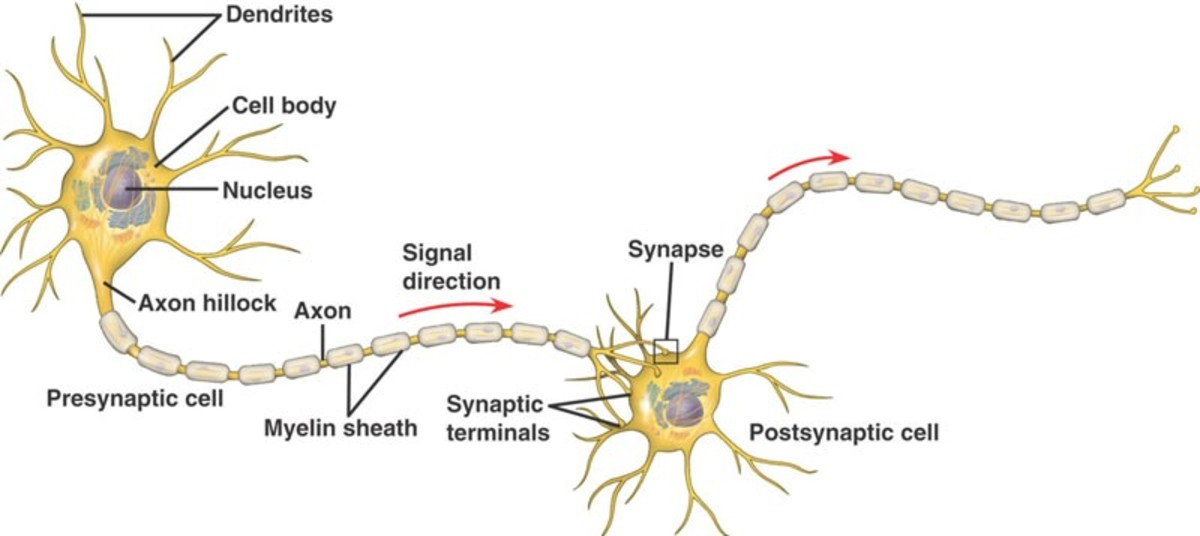 A neuron connected to another (postsynaptic cell) at their synaptic terminals.