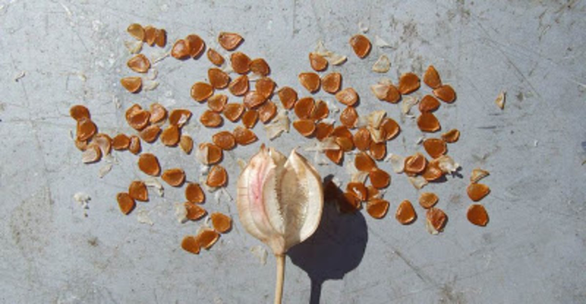 Tulip seeds and capsule.
