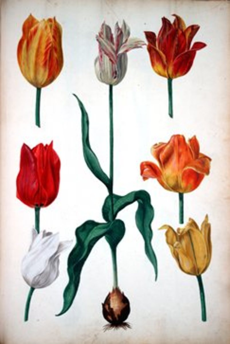 Several tulips in 1630 illustration, including the bulb.