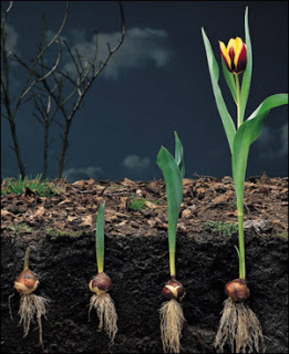 The various stages of tulip life cycle.